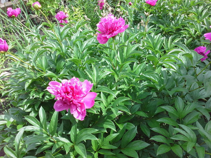 Peony bush royalty free stock photo
