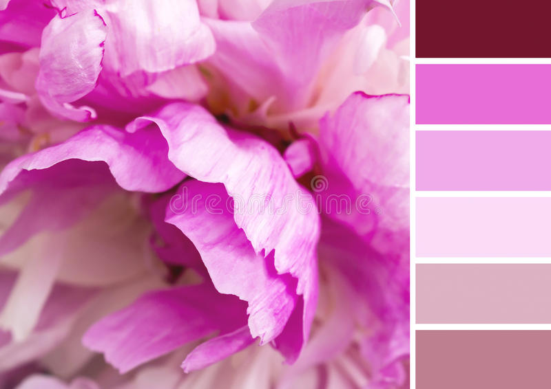 Peonycolour palette with complimentary swatches. Peonybackground colour palette with complimentary swatches royalty free stock photo