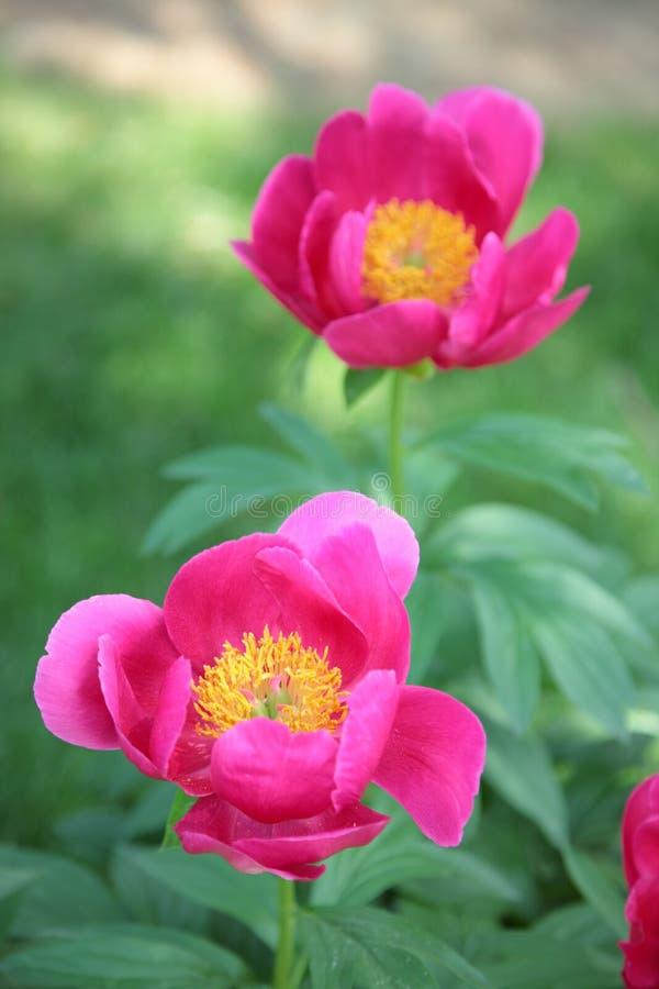 Download Peony cor-de-rosa foto de stock. Imagem de jardim, de - 10053330
