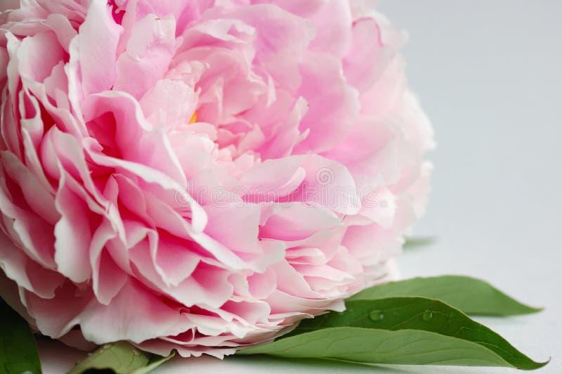 Peony cor-de-rosa imagens de stock royalty free