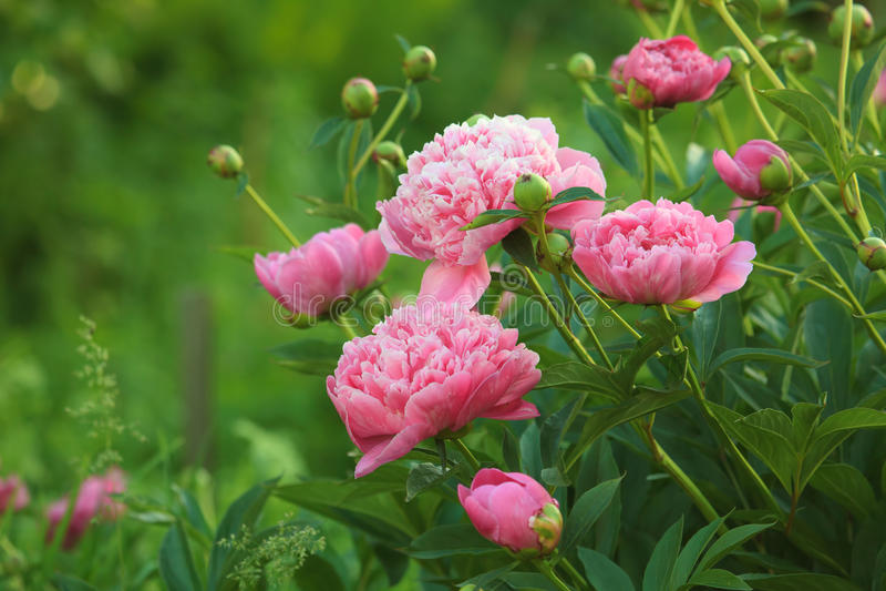 Peony cor-de-rosa foto de stock royalty free