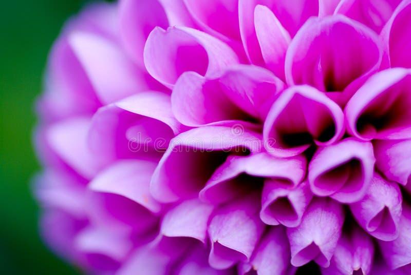 Dalia Edinburgh flower stock photography