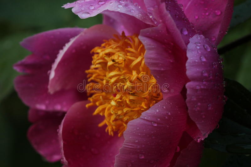 Peony with droplets of water royalty free stock photography
