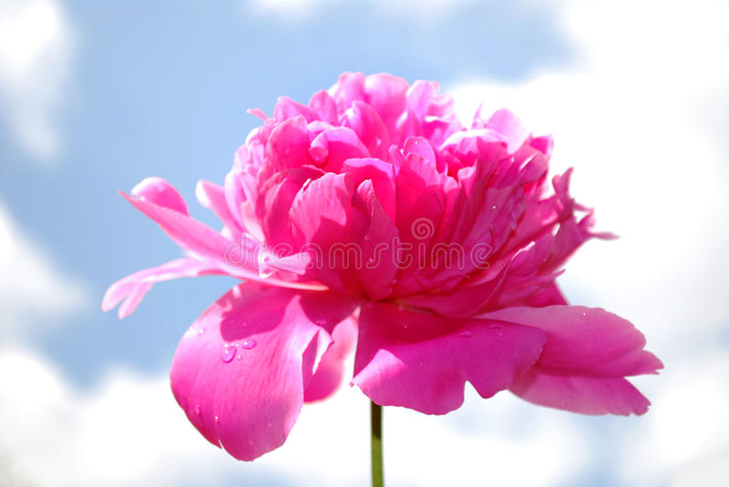 Download Peony flower stock image. Image of fragrance, blossom - 9803087