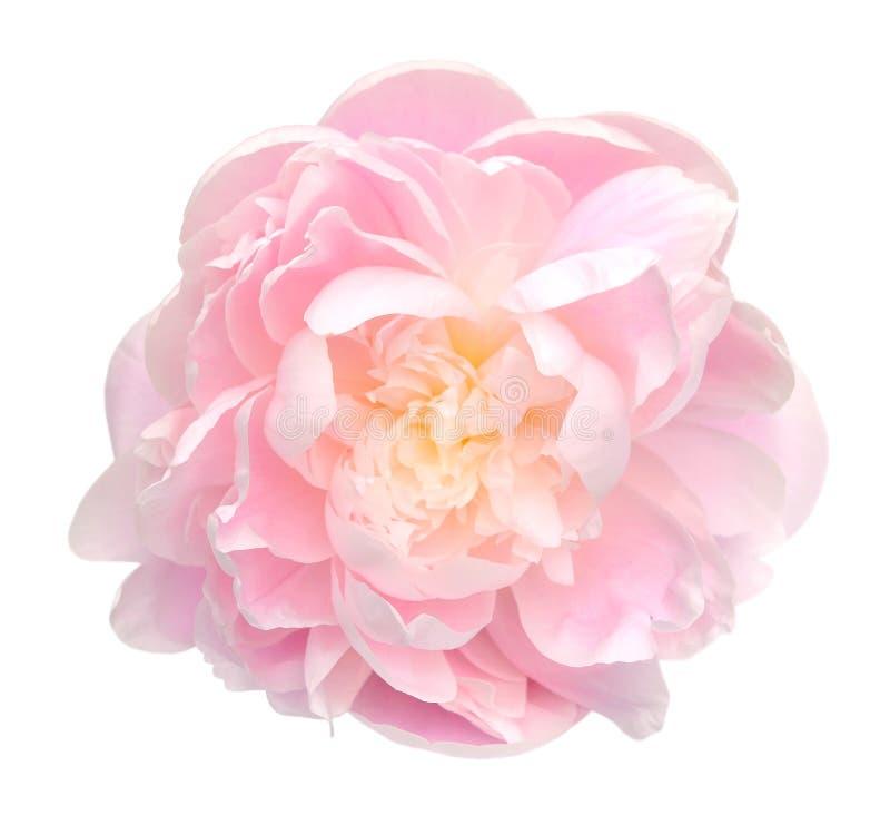 Peony flower. Beautiful peony flower isolated on white background royalty free stock photography