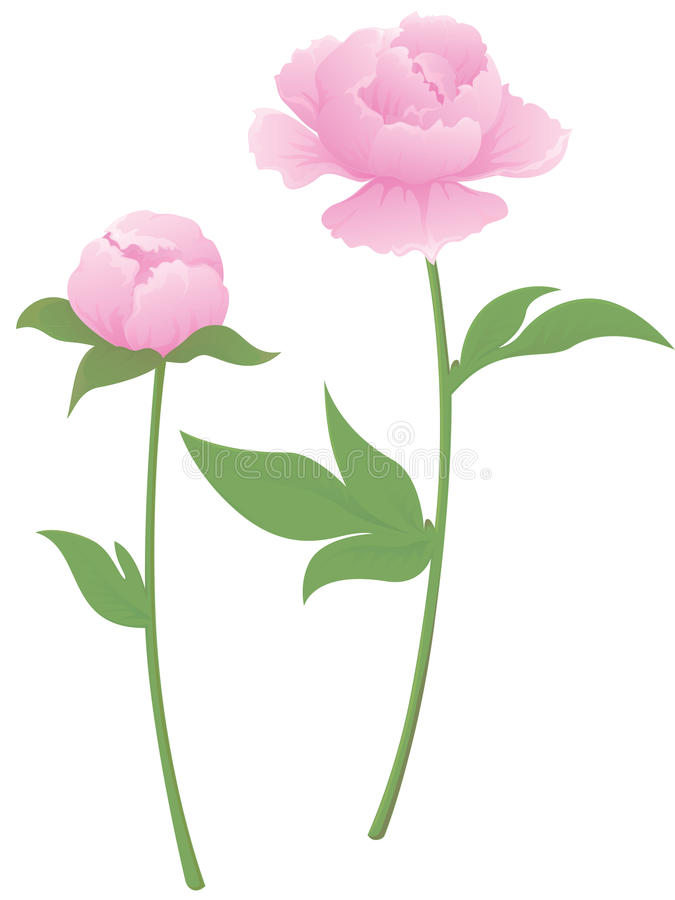 Download Peony Flower And A Bud Stock Images - Image: 20282794