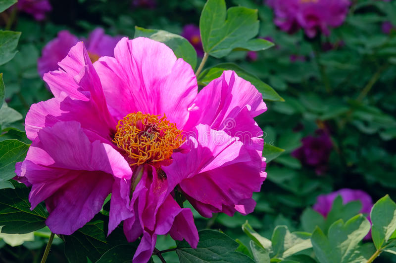 Peony flower. The close-up of pink peony flower royalty free stock photos