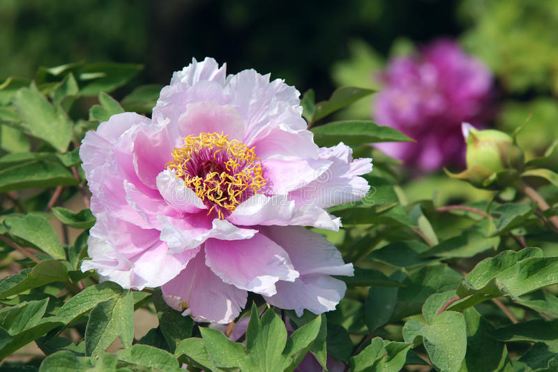 Peony flower. The close-up of pink subshrubby peony flower stock images