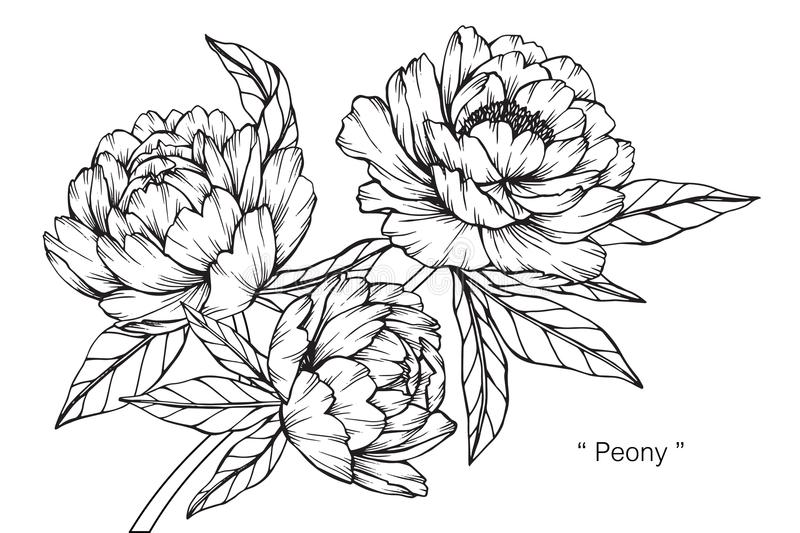 Peony Flower Line Drawing : Peony flower drawing and sketch stock illustration