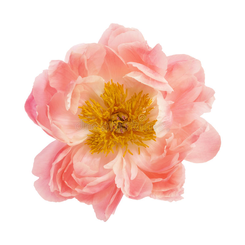 Peony flower. Isolated on a white background royalty free stock photos