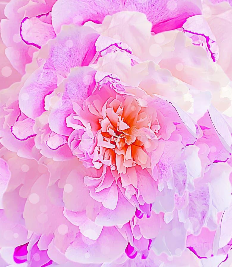 Peony flower pink background freshness. Peony flower pink background petal freshness royalty free stock photo