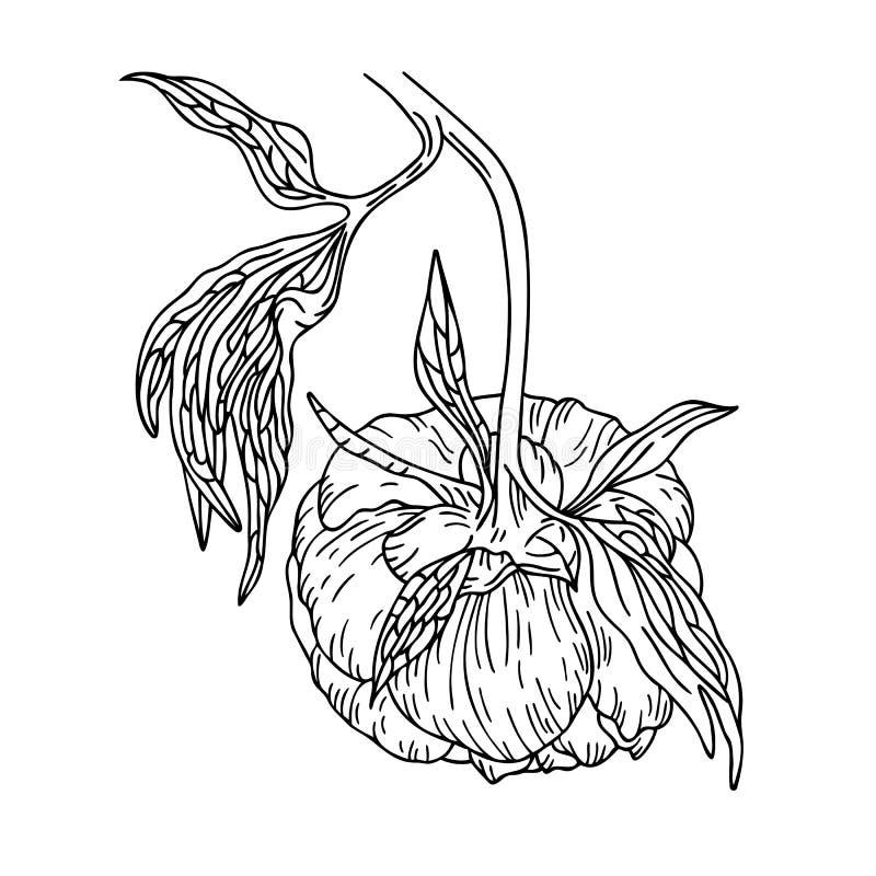 Peony flower on the stem stock illustration