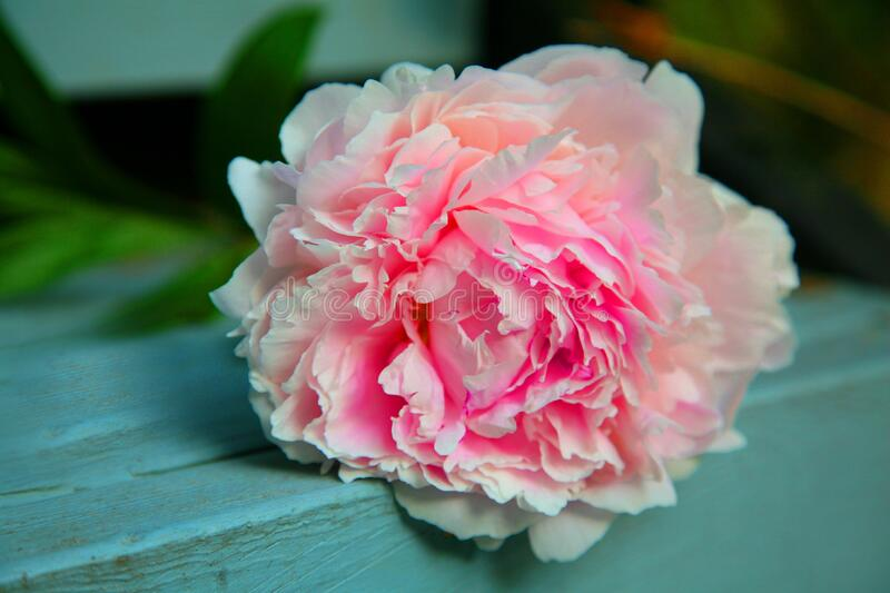 Peony flower on table royalty free stock photography