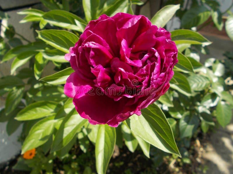 Peony flowers . Paeonia lactiflora . royalty free stock photos