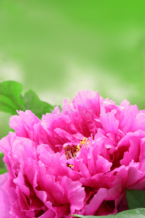 Download Peony Garden Royalty Free Stock Photos - Image: 703878
