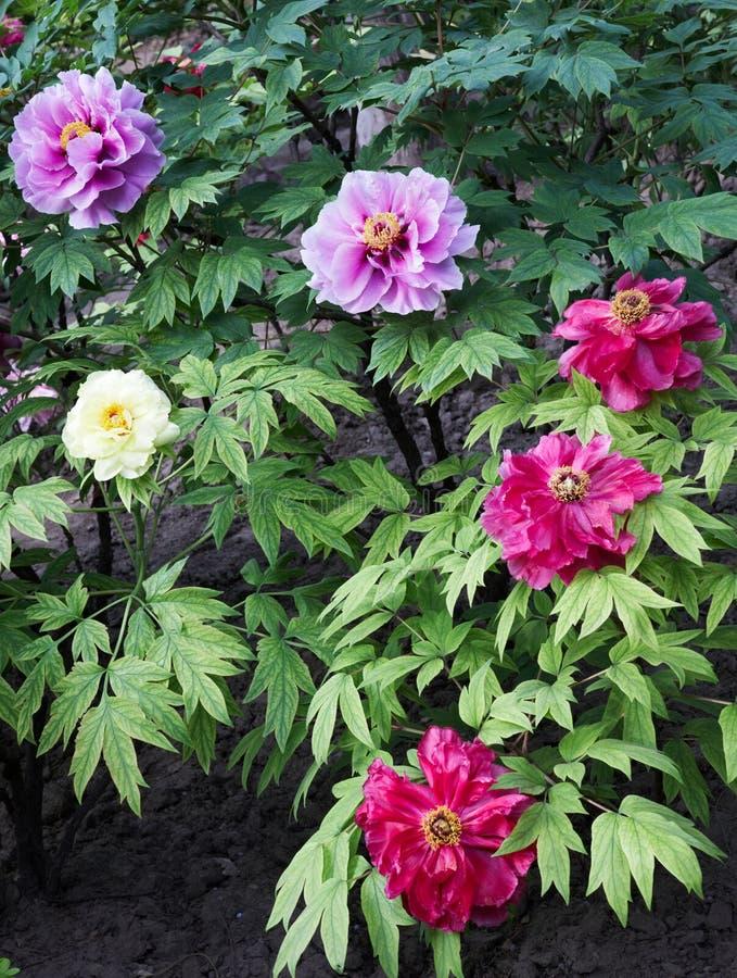 Download Peony garden stock image. Image of blooming, gaudy, glaring - 9279005