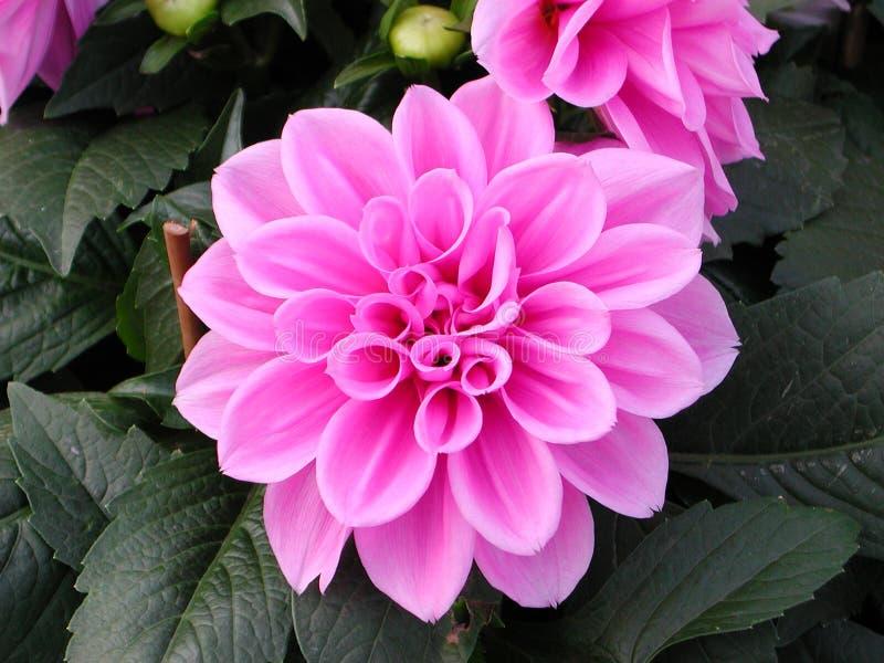 Peony nel colore rosa fotografie stock libere da diritti