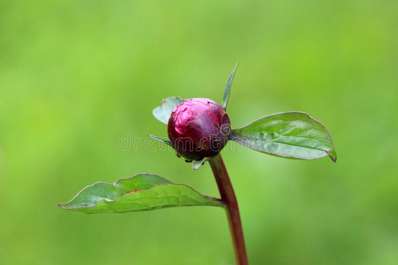 Peony or Paeony herbaceous perennial flowering plant with single closed flower bud surrounded with leathery green leaves planted. In local garden on warm sunny stock image