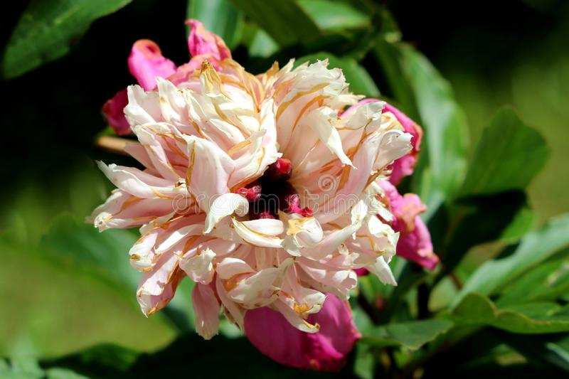 Peony or Paeony herbaceous perennial flowering plant with single fully open blooming densely layered white and light pink flower. With partially shriveled stock images
