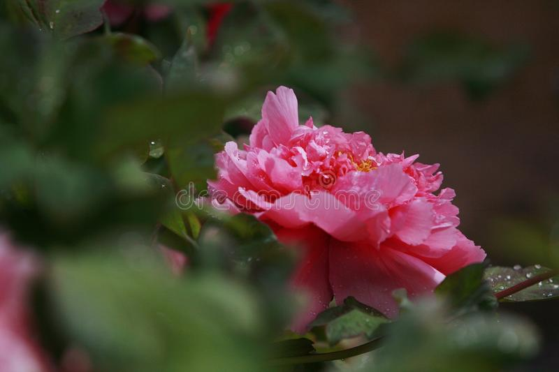 Peony. Is native to the mountainous area of Qinling Mountains and Dabashan in the west of China. There are wild Single Leaf Varieties in this area. Deciduous royalty free stock photo