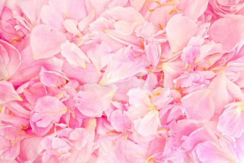 Peony Petal  Beauty Stock Photography