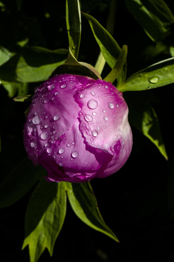 Pink peony bud with rain drops stock photography