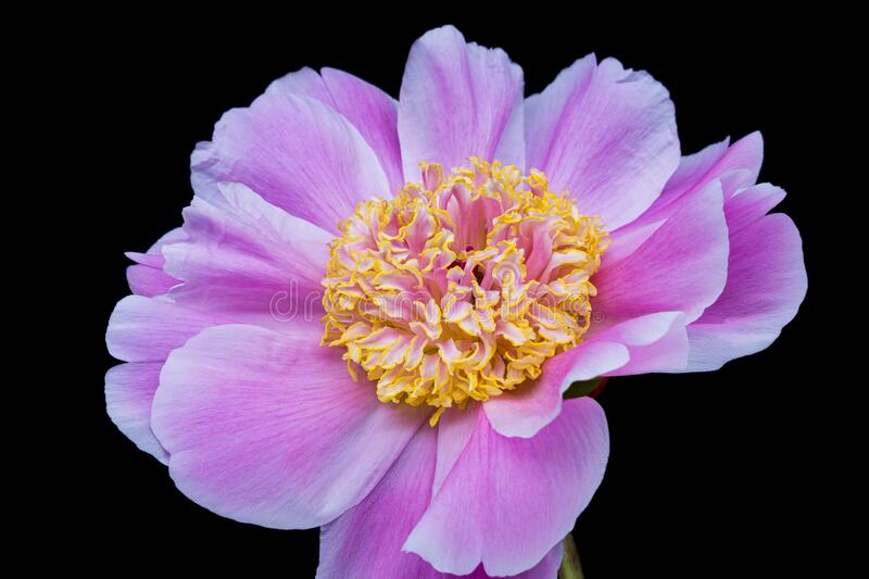 Peony Pink royalty free stock photography