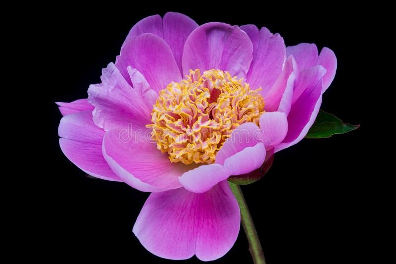 Peony Pink stock photography