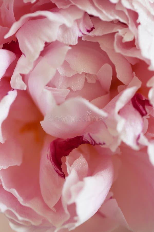 Peony pink flower close up beautiful macro. Peony pink flower close up macro background photo stock images