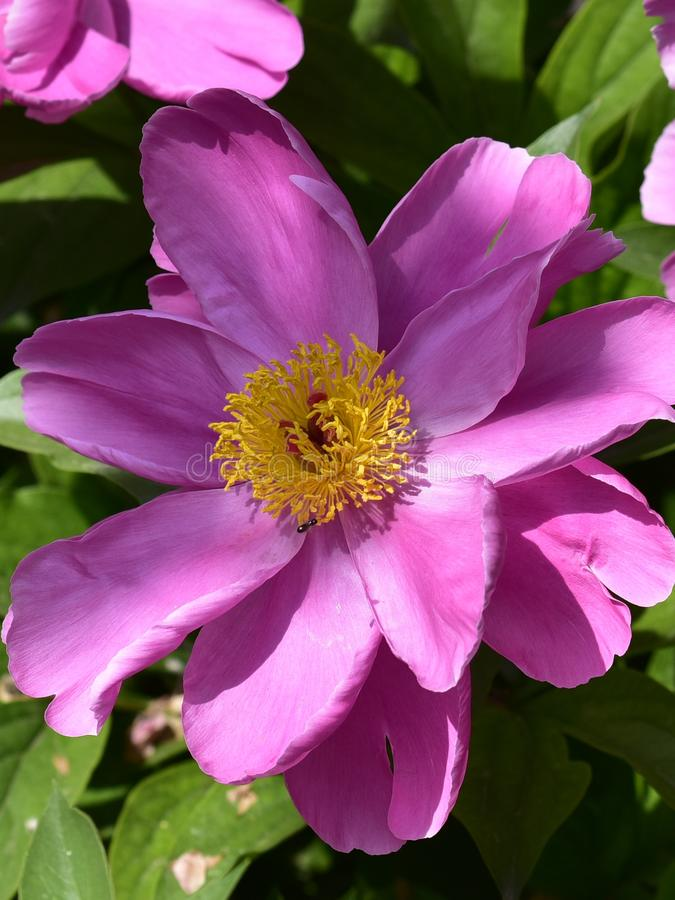 Paeonia lactiflora scientific name: Paeonia lactiflora Pall., prime minister in flowers royalty free stock photography