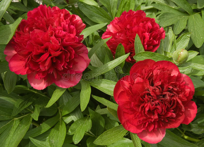 Peony roses in the garden in Springtime. royalty free stock photos
