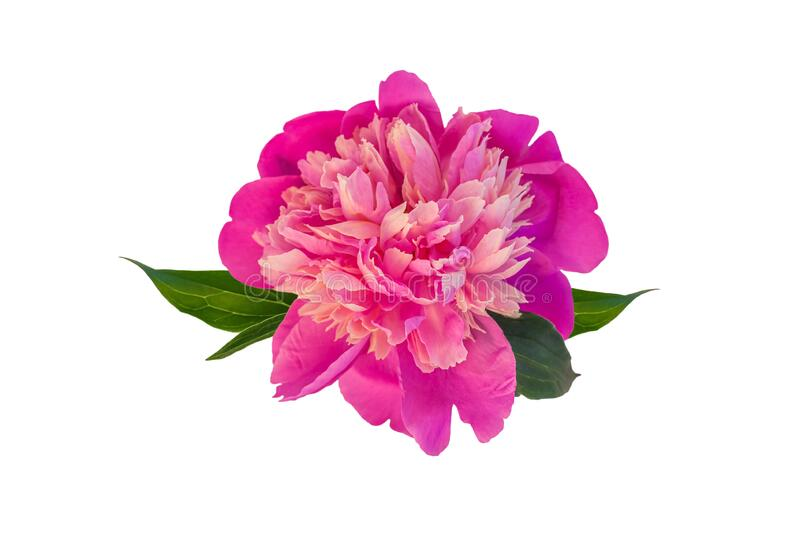 Peony single flower isolated on white background.Beautiful blooming flowers clipart for floral design pattern.Rose plant. Peony single flower isolated on white royalty free stock photo