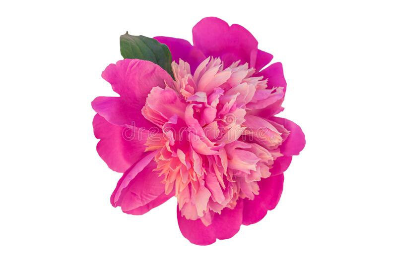 Peony single flower isolated on white background.Beautiful blooming flowers clipart for floral design pattern.Rose plant. Peony single flower isolated on white stock photos