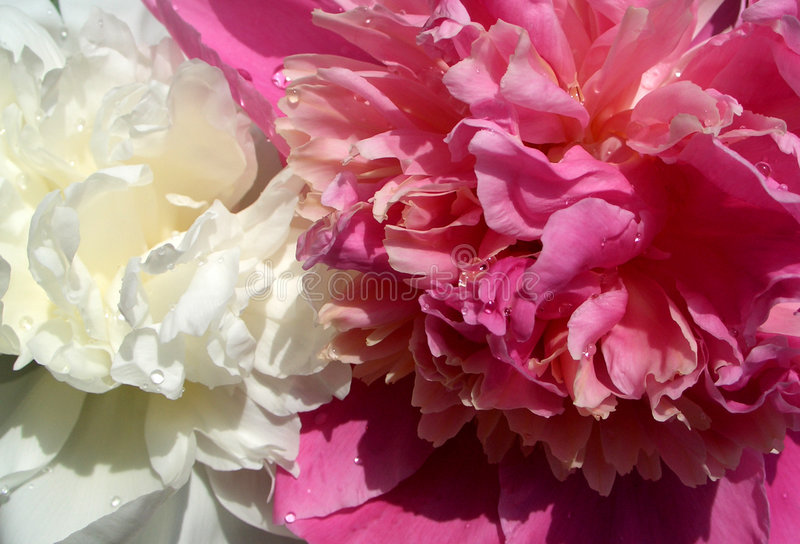 Peony white&pink...(1). Here are 2 flowers, one is pink and the other one is white royalty free stock photo