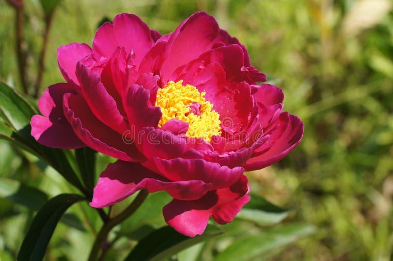 Peonys. Pink peony flower in garden royalty free stock image