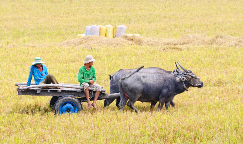 People with buffalo cart on rice field in Angiang, Vietnam royalty free stock images