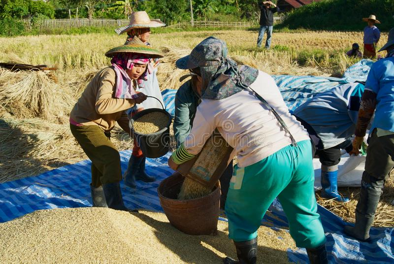 People of Chan hill tribe harvest rice in Chiang Mai, Thailand. Chiang Mai, Thailand - November 15, 2008: Unidentified people of Chan hill tribe harvest rice in royalty free stock images