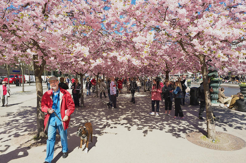 People enjoy walking under blossoming cherry trees at Kungstradgarden in Stockholm, Sweden. royalty free stock photo
