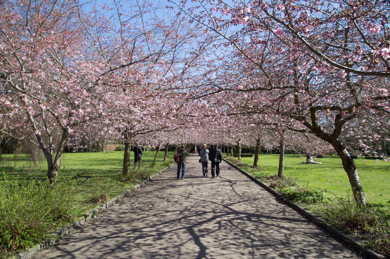 People enjoying cherry blossoms on Bispebjerg graveyard stock photos