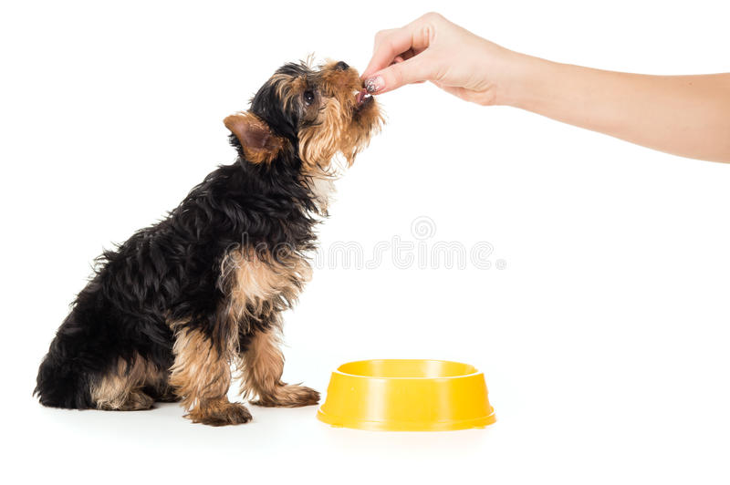 People are fed puppy food with hands. People are fed Yorkshire terrier puppy food with hands stock photos