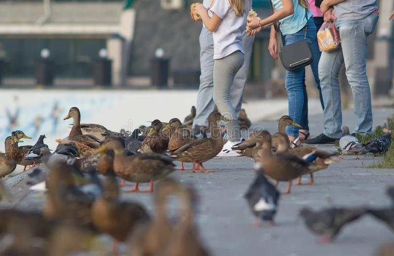 People feed bread ducks pigeons waterfront stock photos
