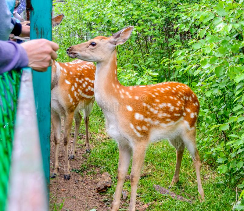 People feed the red deer from the hands stock photos
