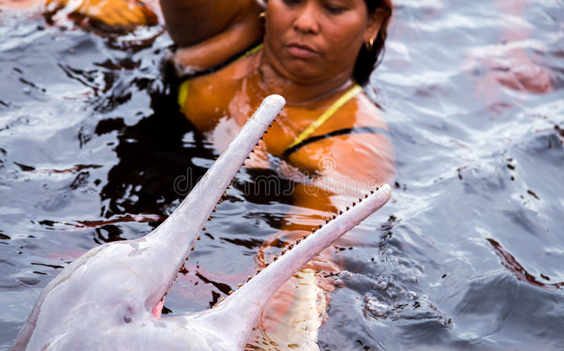 People feeding the famous Pink Dolphin (Boto Rosa) in Amazon, Brazil royalty free stock image