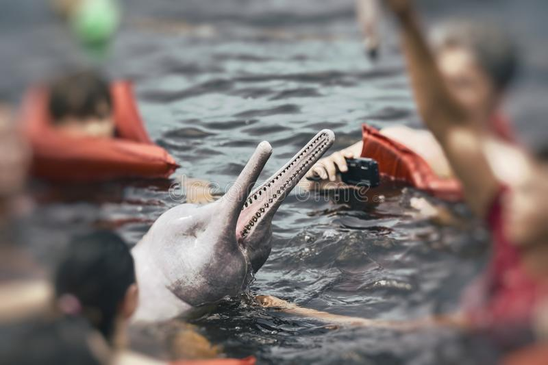 People feeding the famous Pink Dolphin Boto Rosa in Amazon, Br stock images
