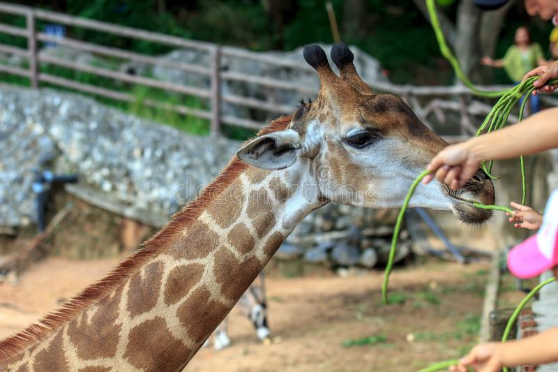 People feeding food Giraffe with vegetable at zoo. Of Thailand stock photo
