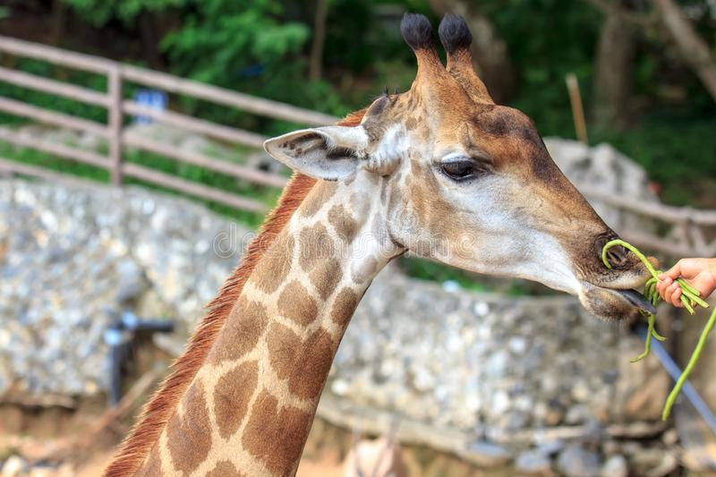 People feeding food Giraffe with vegetable at zoo. Of Thailand stock images