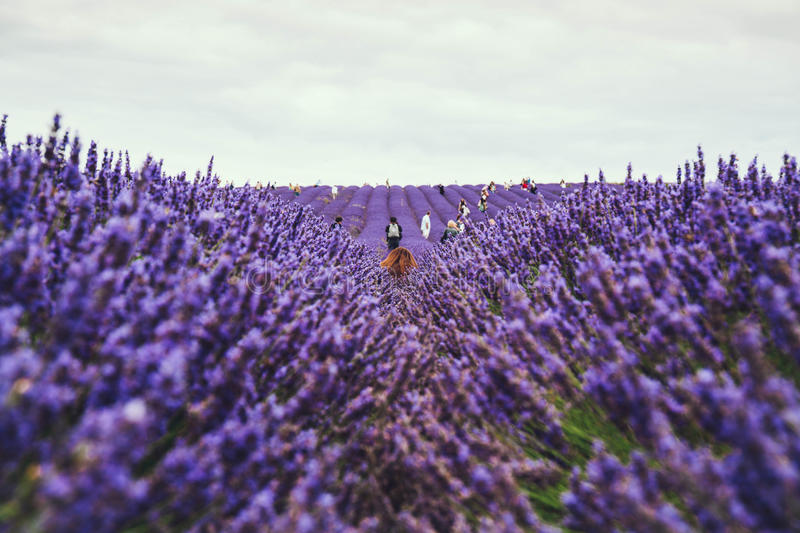 People hand picking lavender in a field. Blossoming lavender field, people hand picking lavender on the background. Selective focus royalty free stock image