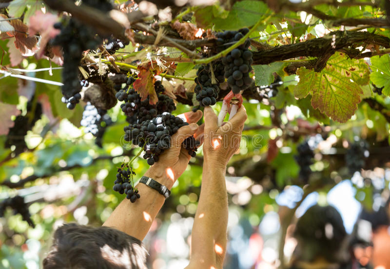 People harvesting grapes in the vineyard of the Madeira Wine Company at Madeira Wine Festival in Estreito de Camara de Lobos,. Madeira, Portugal. The Madeira royalty free stock photography