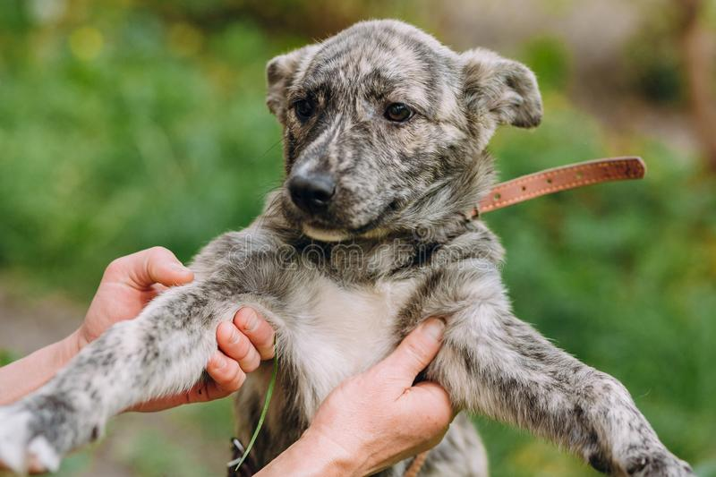 People holding cute little grey puppy with collar in hands. doggy playing outdoors. scared homeless dog looking for home. Adoption concept royalty free stock photo