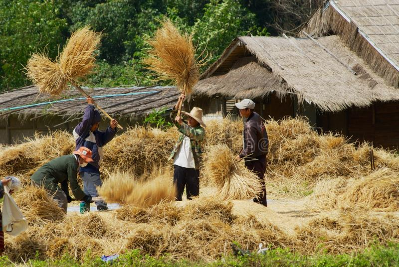 People of the Karen hill tribe hits rice paddies at the field during harvesting season in Doi Inthanon, Thailand. Doi Inthanon, Thailand - November 14, 2008 stock photos